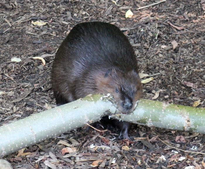 Beaver 20