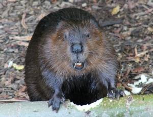 Beaver Calendar 03