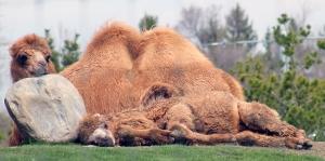 Camels 06