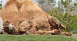 Camels 07