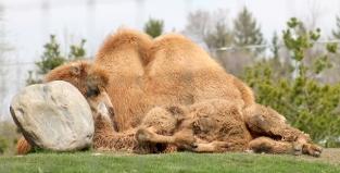 Camels 09