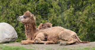 Camels 15