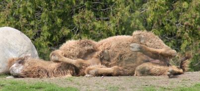 Camels 17