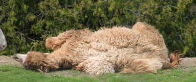 Camels 22