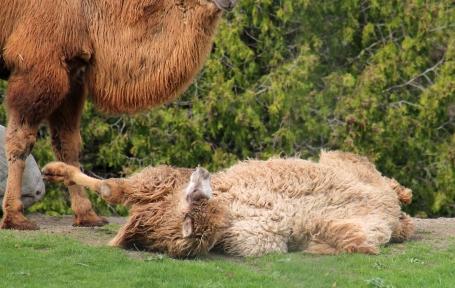 Camels 26