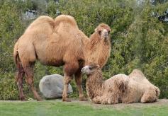 Camels 28