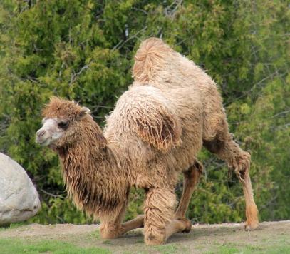 Camels 31