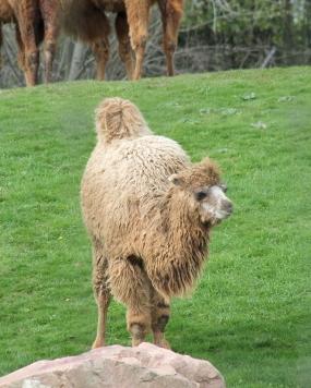 Camels 34