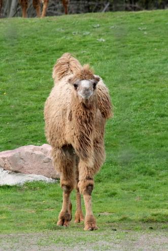 Camels 37