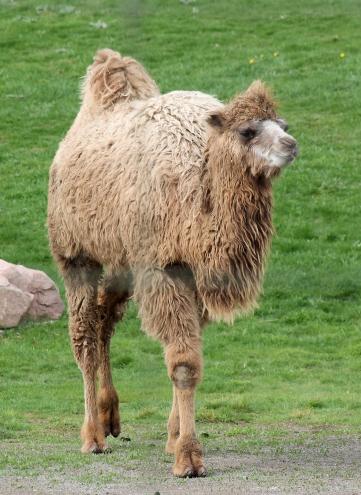 Camels 38