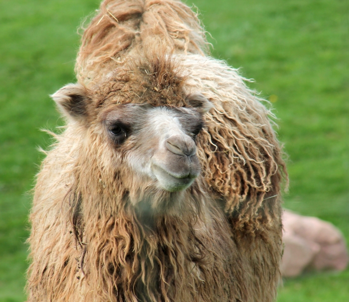 Camels 41