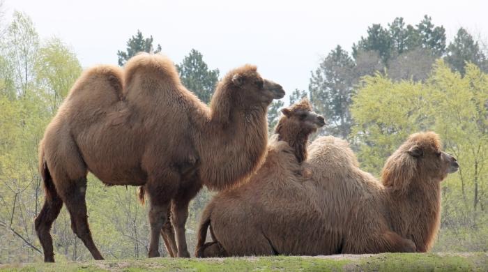 Camels 42