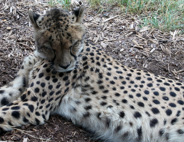 Cheetah 01 calendar
