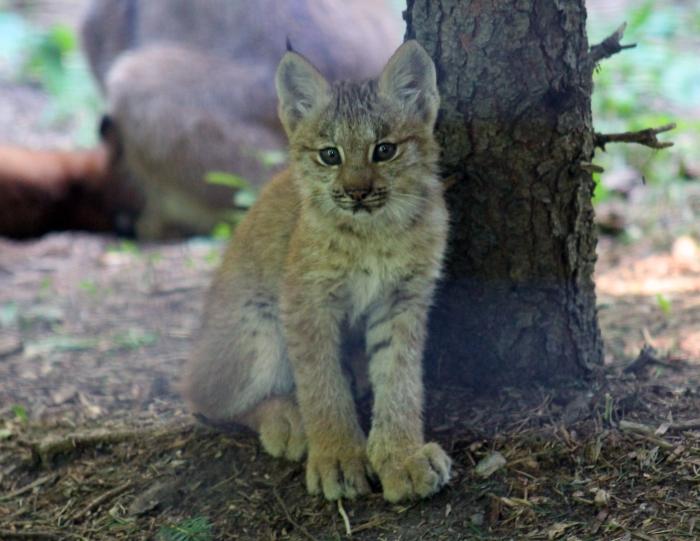 Lynx kitten 02 calendar
