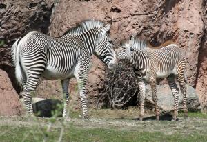 Zebras 12