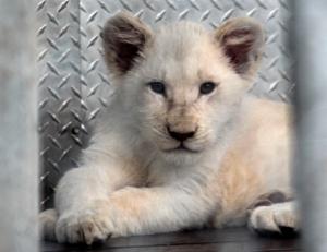 Lion cubs 03 calendar
