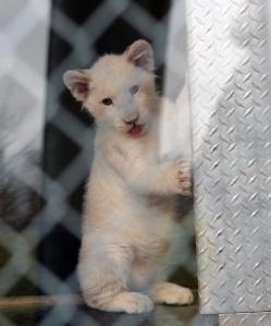 Lion Cubs 03