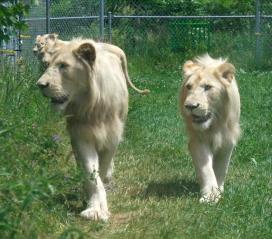 Lion cubs 06
