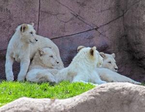 Lion cubs 09 calendar