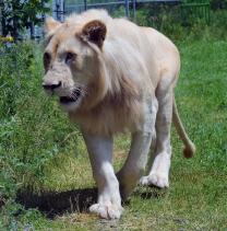 Lion cubs 101