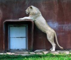 Lion cubs 11