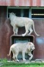 Lion cubs 110