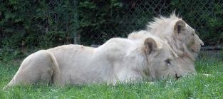 Lion cubs 127