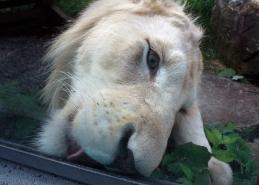 Lion cubs 13