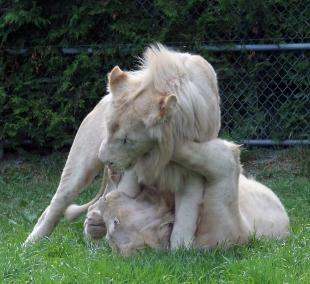 Lion cubs 133