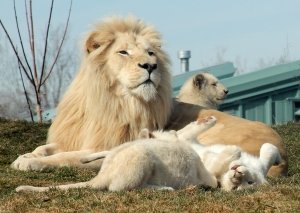 Lion cubs 21