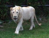 Lion cubs 24