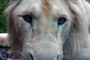 Lion cubs 30
