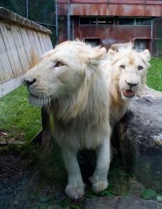 Lion cubs 42