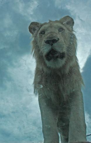 Lion cubs 48