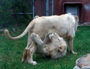 Lion cubs 54