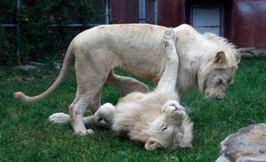 Lion cubs 63