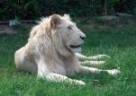 Lion cubs 67