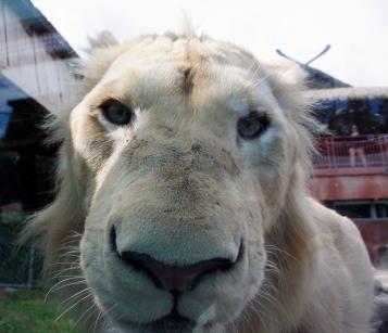Lion cubs 70