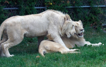 Lion cubs 74