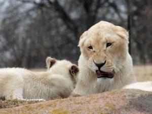 Lions 37
