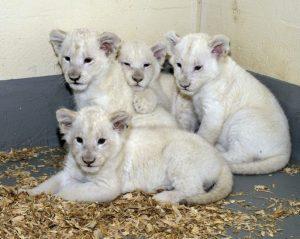 white-lion-cubs.jpg.size.custom.crop.813x650