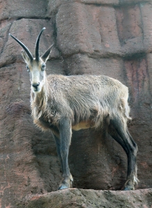 Chamois face on