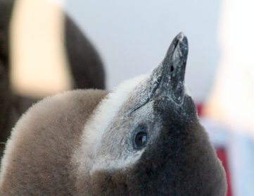 Penguin chick 02 calendar
