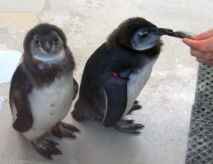 Penguin chick 07 calendar