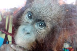 Orangutan 13