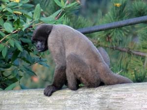 Woolly monkey 2