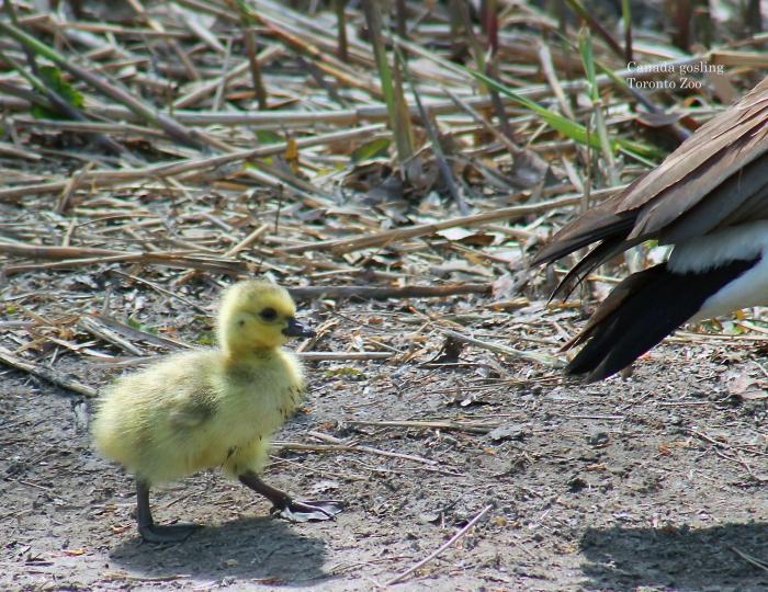 02 gosling February