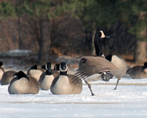 Geese 14