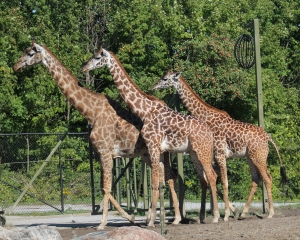 Giraffes July