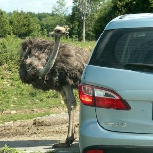 Ostrich 03